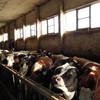 Génisses pleines Holstein & Simmental
